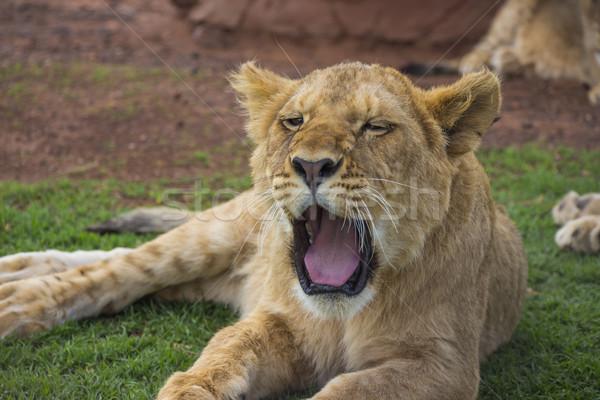 Yawning Lion Cub Portrait 1 Stock photo © bradleyvdw