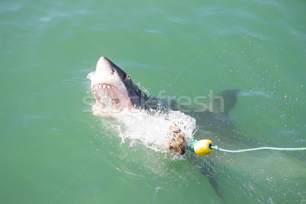 Great White Shark Attacking Decoy 2 Stock photo © bradleyvdw