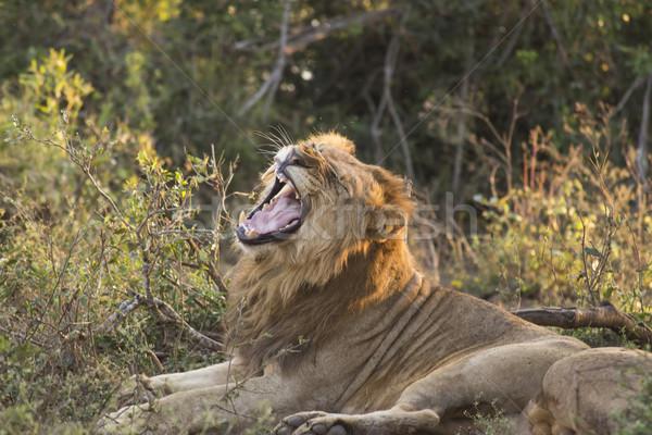 Yawning Lion 3 Stock photo © bradleyvdw