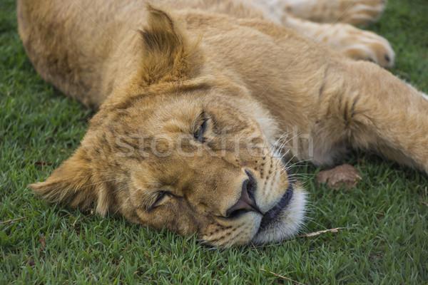 疲れ ライオン カブ 肖像 寝 ストックフォト © bradleyvdw