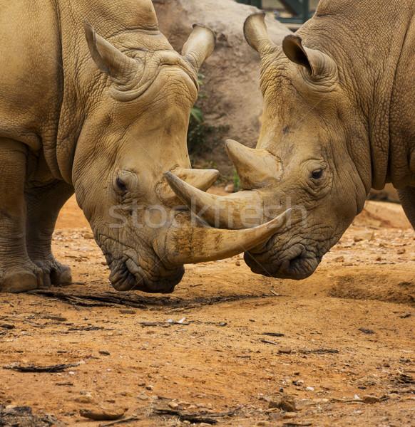 Kettő orrszarvú agancs zárt Afrika fehér Stock fotó © bradleyvdw