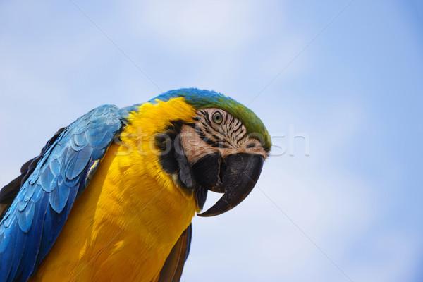 Blue and Gold Macaw Portrait 3 Stock photo © bradleyvdw