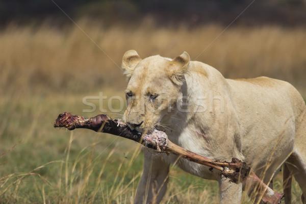 White Lioness Carrying a Bone Stock photo © bradleyvdw