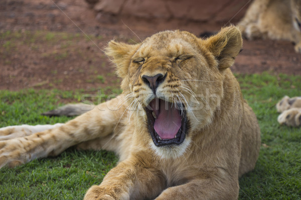 ライオン カブ 肖像 赤ちゃん ストックフォト © bradleyvdw