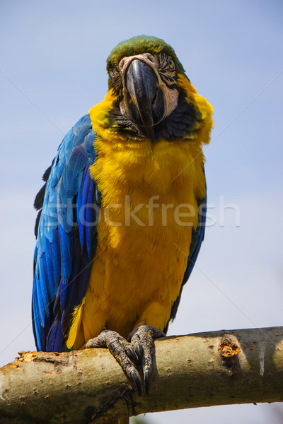 Blue and Gold Macaw Portrait 5 Stock photo © bradleyvdw