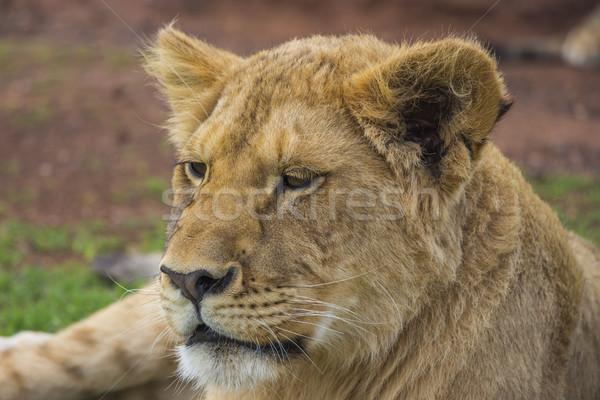 疲れ ライオン カブ 肖像 ストックフォト © bradleyvdw