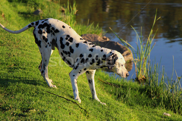 Curious Dalmation Explores the Waters Edge 1 Stock photo © bradleyvdw