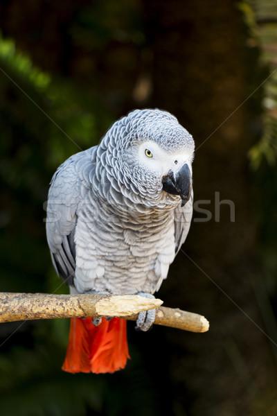 アフリカ グレー オウム 肖像 眼 鳥 ストックフォト © bradleyvdw