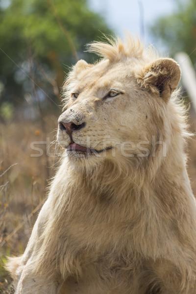 男性 白 ライオン 肖像 口 ストックフォト © bradleyvdw