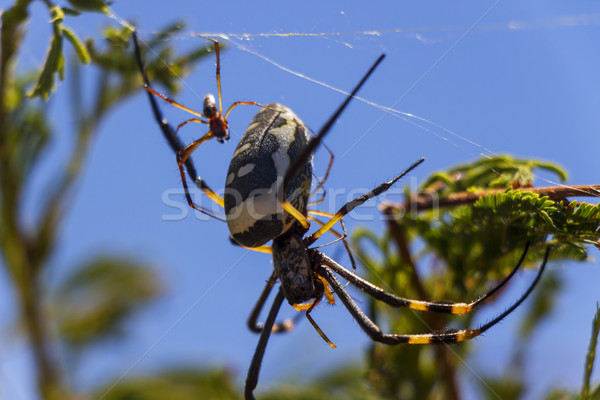 Golden Orb Weaver Spider with a Young Baby 1 Stock photo © bradleyvdw