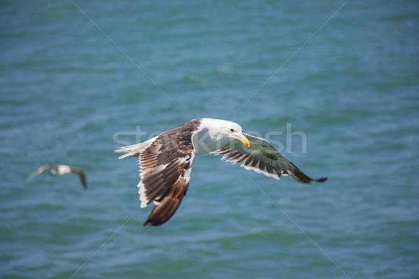 Flying Seagull Above the Ocean Stock photo © bradleyvdw