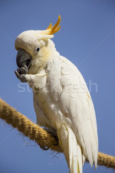 Citron Crested Cockatoo Portrait 4 Stock photo © bradleyvdw