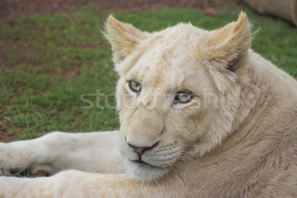 白 ライオン カブ 肖像 アフリカ ピンク ストックフォト © bradleyvdw