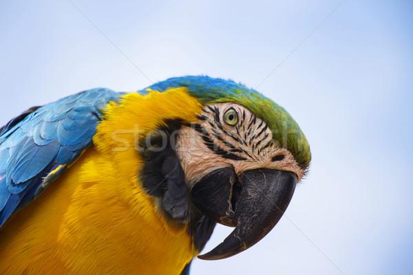 Blue and Gold Macaw Portrait 2 Stock photo © bradleyvdw
