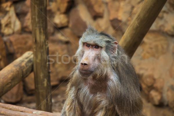 бабуин портрет обезьяны белый розовый мех Сток-фото © bradleyvdw