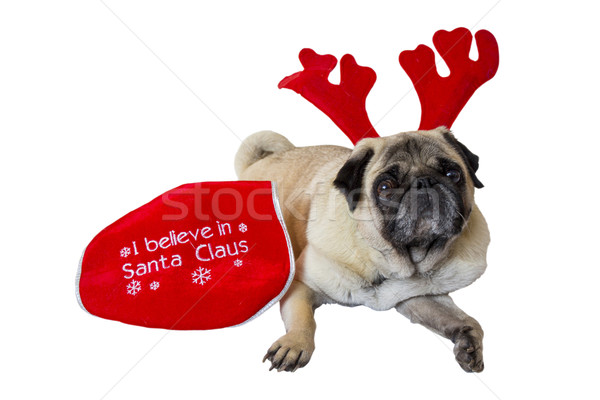 Beige Pug Wearing Christmas Attire 10 Stock photo © bradleyvdw