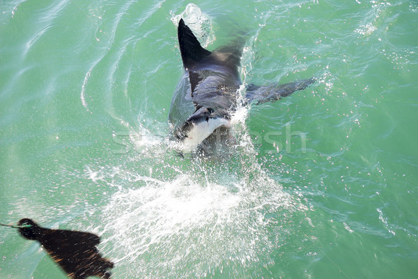 Great White Shark Attacking Decoy 1 Stock photo © bradleyvdw