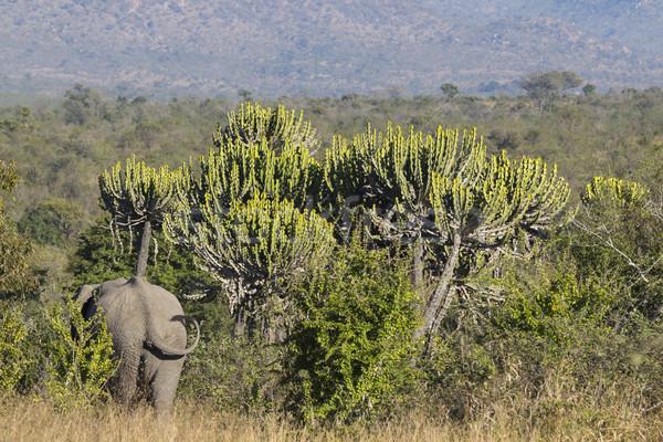 слон за Слоны африканских Буш трава Сток-фото © bradleyvdw