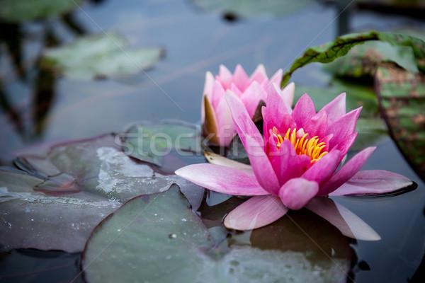 Pink Lotus Stock photo © brebca