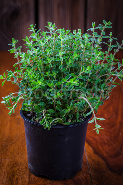 Marjoram in flower pot Stock photo © brebca