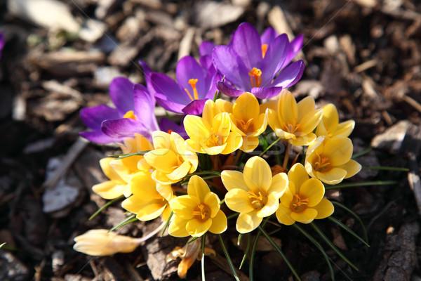 Foto stock: Roxo · amarelo · açafrão · jardim · flor · folha