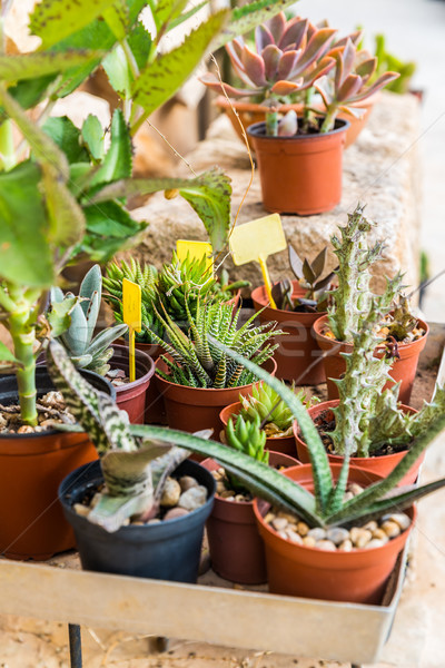 Succulents and cactus blooming flowers Stock photo © brebca