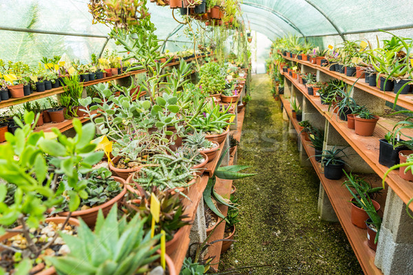 Succulents and cacti in hothouse Stock photo © brebca