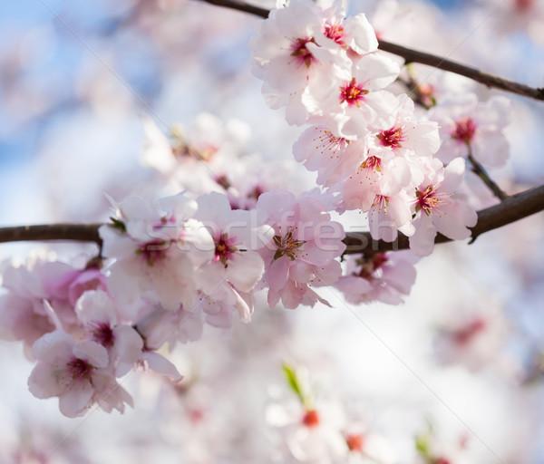 Flowering cherry tree Stock photo © brebca