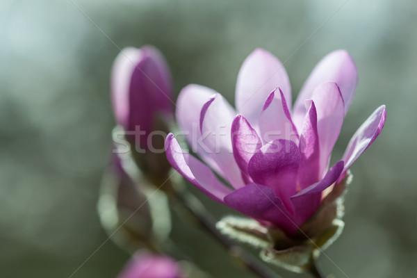 çiçekli pembe manolya bahar duygu sığ Stok fotoğraf © brebca