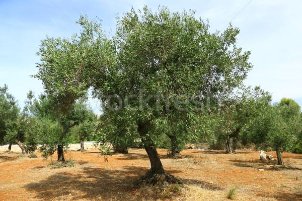 Olive tree on red soil Stock photo © brebca