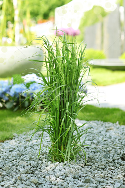 Ornamental grass in garden Stock photo © brebca