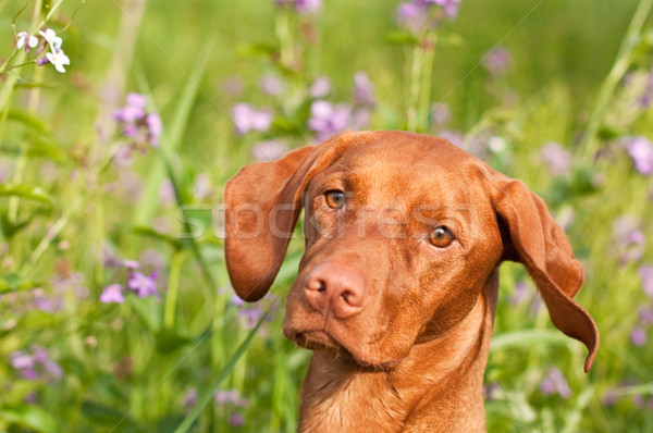 Close-up of a Vizsla Dog with Wildflowers Stock photo © brianguest