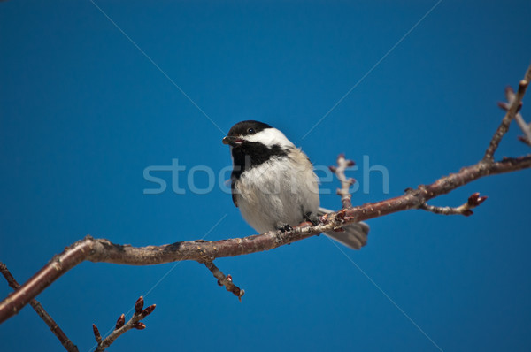Black-Capped Chickadee Eating a Seed. Stock photo © brianguest