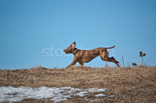 Hungarian Vizsla Dog Running across a Ridge Stock photo © brianguest