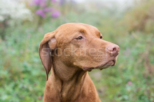 Węgierski psa dziedzinie kobiet zwierząt Zdjęcia stock © brianguest
