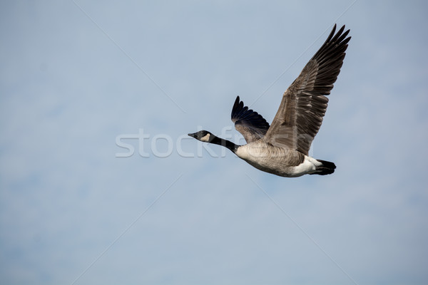 Single Canada Goose in Flight Stock photo © brianguest