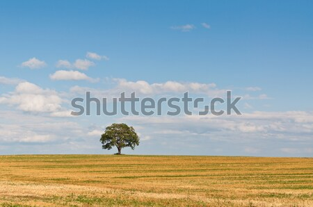 Lone Tree in a Field Stock photo © brianguest