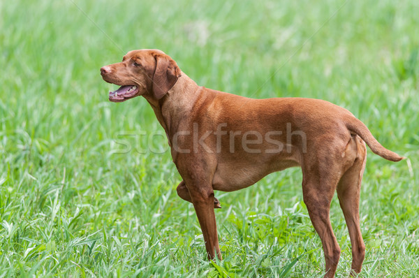 Happy Looking Vizsla Dog Standing in a Green Field Stock photo © brianguest
