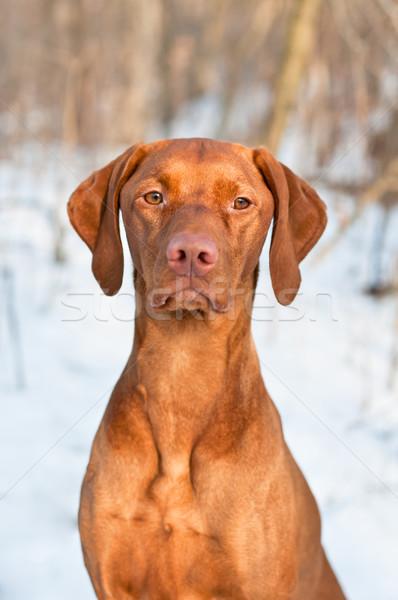 Vizsla Dog Portrait in winter. Stock photo © brianguest