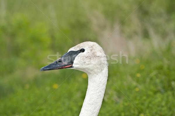 лебедя голову шее зеленый природы Сток-фото © brianguest