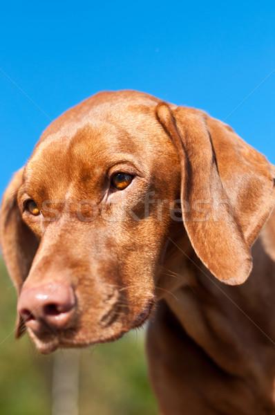 Stock photo: Closeup of a Staring Vizsla Dog