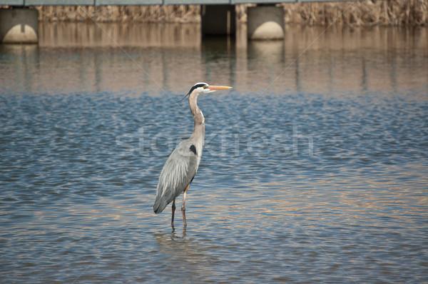 Azul garça-real suburbano lagoa Foto stock © brianguest