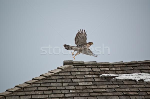 Hawk Taking Off Stock photo © brianguest