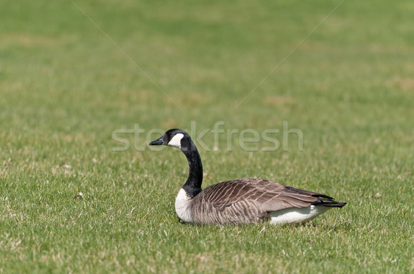 Canada Goose (Branta canadensis) sitting on the grass. Stock photo © brianguest