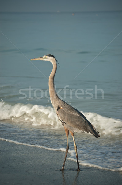 Great Blue Heron on a Gulf Coast Beach with Waves Stock photo © brianguest