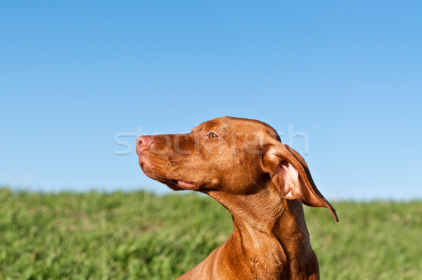 Profile Portrait of a Sunlit Vizsla Dog with Blue Sky Stock photo © brianguest