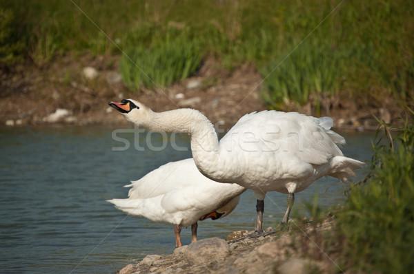 çift kısmak gölet kenar doğa güzellik Stok fotoğraf © brianguest