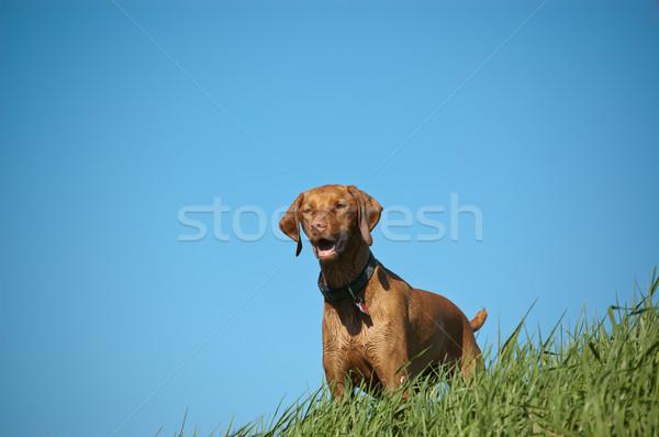 Homme chien herbeux colline lumineuses ciel bleu Photo stock © brianguest