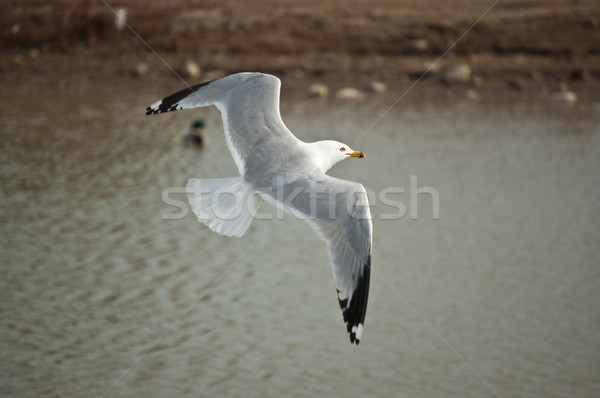 Ring-billed gull flying over a pond Stock photo © brianguest