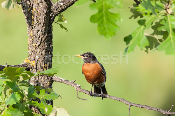 Robin Perched on a Branch Stock photo © brianguest